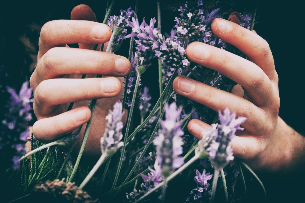 Woman's hands around a bunch of lavender.
