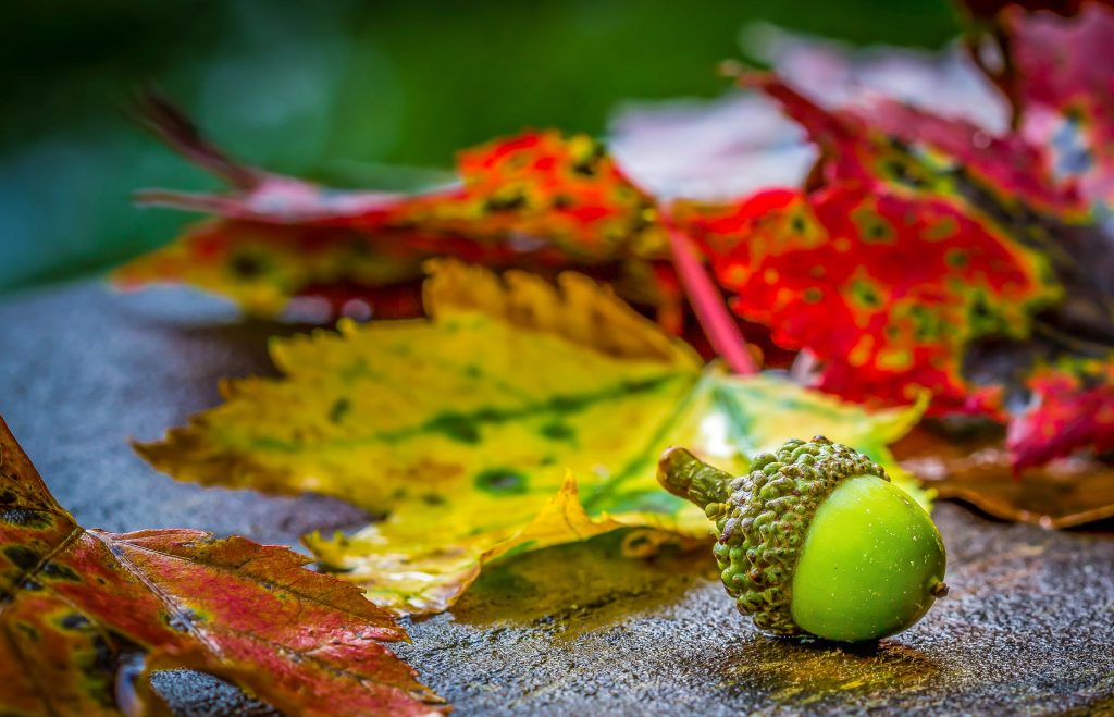 An acorn lying next to autumn leaves.